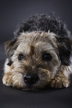 Wire-haired terriers, such as this Border Terrier, are low-maintenance pets.
