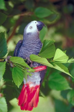 African grey parrots are known for longevity.