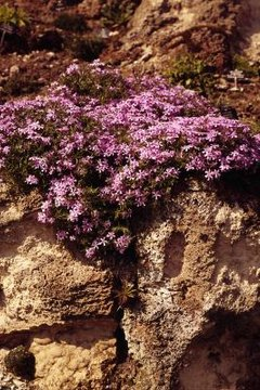 Compact shrubs and low-growing plants, such as creeping phlox, require little maintenance.