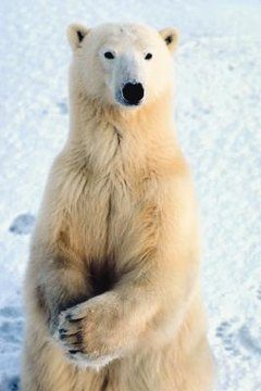 What Kind of Special Skills Does the Polar Bear Have Animals