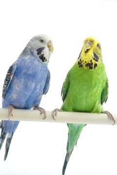 Judging by the absence of bars on their heads, these are not very young budgies.