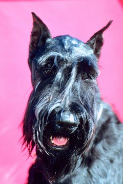 Bushy eyebrows and a beard are standard schnauzer features.