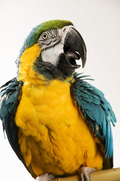 Keeping your parrot happy and healthy can minimize the noise he makes.