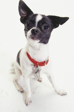 A Chihuahua's tendency to bark at any strange noises makes him an excellent watch dog.
