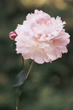 Zeus saved Paeon from a jealous god by turning the young man into a peony.
