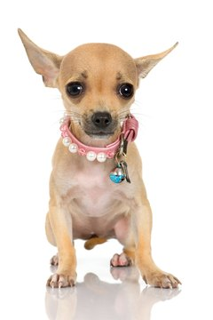 Strong leadership can help calm a nervous Chihuahua.