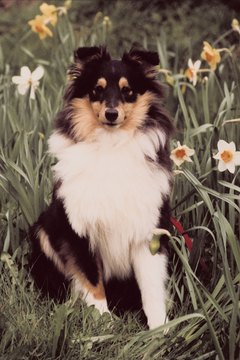 "You may find your sheltie nipping at and ""herding"" the cat."
