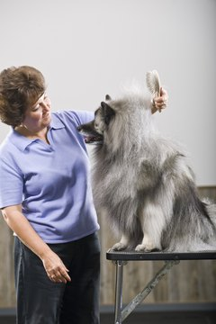 A dog groomer brushes a keeshond with a pin brush.