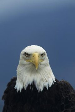 A Bald Eagle's Diet | Animals - mom.me