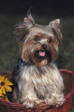 Pull back your Yorkie's hair to keep it out of her eyes.