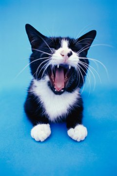 Check your cat's teeth to keep him healthy.