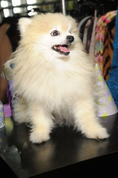 A Pomeranian's coat can be beautiful when properly groomed.
