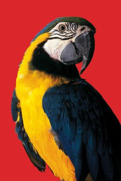 A parrot's beak is uniquely suited to break open hard foods in the wild.