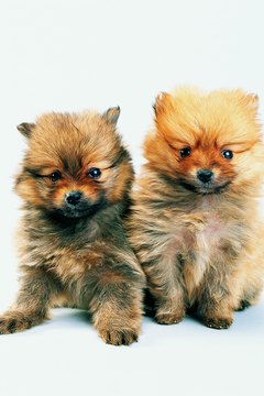 Pomeranians can be tough to resist.