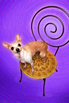 Chihuahuas have special dietary requirements, especially as seniors.
