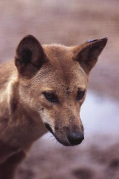 Are dingoes an endangered species animals mom hemera technologiesphotosgetty images sciox Images