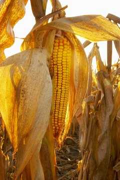 Corn, along with wheat and soybeans, is traded daily on the grain commodity exchanges.