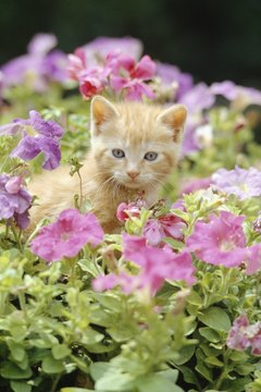 Petunias are colorful, cat-safe and repel some garden pests.