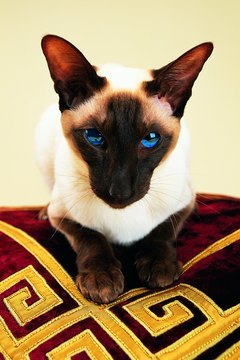 Siamese cats are very talkative and social.