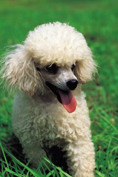 Fun-loving poodles enjoy playing with their feline friends.