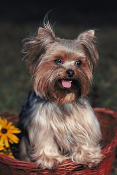 The versatile Yorkie can work almost any hairstyle.