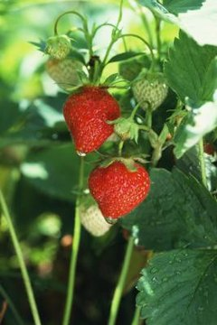 Harvest berries when ripe to prevent pest infestations.