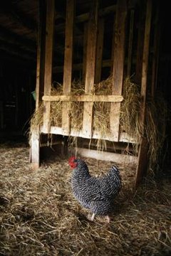 What Minimum Temperature Do Hens Need to Lay Eggs? | Animals - mom.me