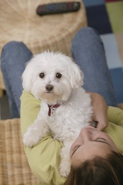 An adorable dog, the bichon frise requires brushing at least thrice weekly.