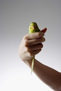 Budgies are normally docile creatures, but they will bite if provoked.