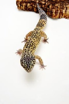 Making A Home For Your Baby Gecko