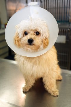 Most dogs adapt quickly to wearing an Elizabethan collar.