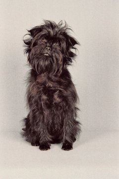The adorable affenpinscher weighs between 7 and 9 pounds.