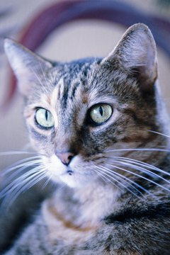 Veterinarians have named a cat's third eyelid the palpebra tertia.