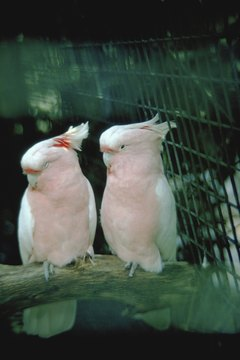 Cockatoos can be quite affectionate and inquisitive.