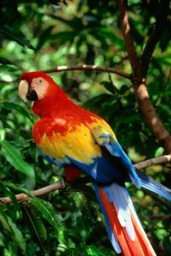The Eating Habits Of Scarlet Macaw Parrots Animals Mom Me