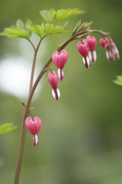 Keep the Bleeding Heart plant away from your pooch.