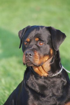 Rottweilers should be alert and confident, never edgy or confrontational.