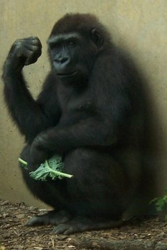 Young Western Gorilla. Photo by Trisha Shears.