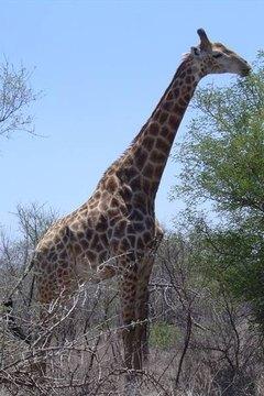 How Do Giraffes Mate?   Sciencing  How Do Giraffes...