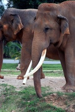 Laws protect elephants from being hunted for their tusks.