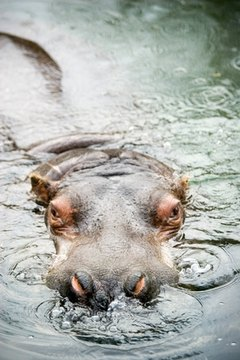 Example: The hippopotamus's eyes peered out of the water.
