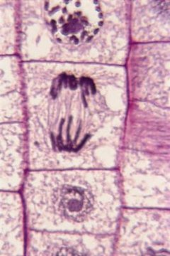 A cell undergoing mitosis