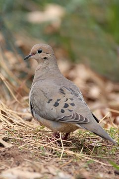 How to Determine the Age of a Mourning Dove Hatchling ...