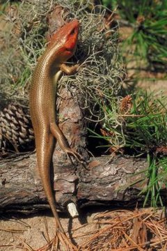 Skinks are reptiles while salamanders are amphibians.