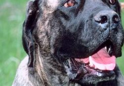 At What Age Is a Mastiff Full Grown?