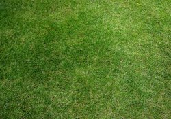 Are Treated Lawns Dangerous to Dogs?