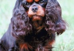 When Do Cavalier Puppies Stop Growing in Height?