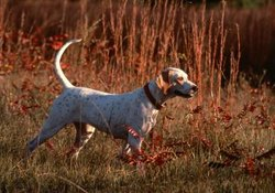 Can an English Pointer Be Brindle?