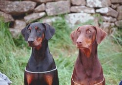 Agouti Hair Pattern in Dogs