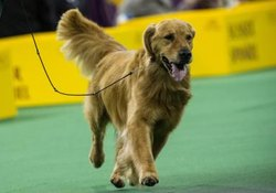 Show Dog Requirements for a Golden Retriever